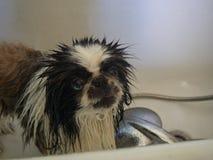 Hund i duschen royaltyfria bilder