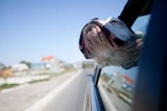 Hund i en bil Royaltyfria Foton