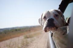 Hund i en bil Royaltyfri Fotografi
