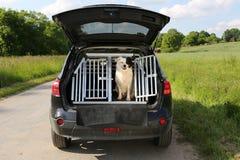 Hund i en bil arkivbild