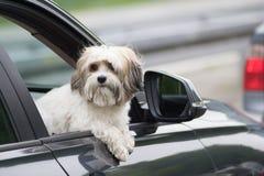 Hund i en bil som ser till och med fönster arkivfoton