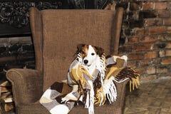 Hund i en filt royaltyfria foton