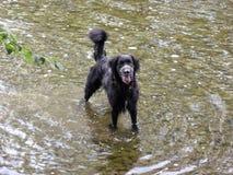 Hund i en flod Arkivbilder