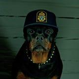 Hund i en polishatt Arkivbild