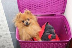 Hund i en purpurfärgad tvättkorg Pomeranian hund i en korg på vit bakgrund Isolerad hund och tvättkorg Arkivfoto
