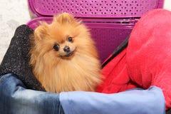 Hund i en purpurfärgad tvättkorg Pomeranian hund i en korg på vit bakgrund Isolerad hund och tvättkorg Royaltyfri Bild
