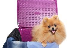 Hund i en purpurfärgad tvättkorg Pomeranian hund i en korg på vit bakgrund Isolerad hund och tvättkorg Arkivfoton
