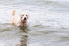 Hund i en sjö Royaltyfri Bild