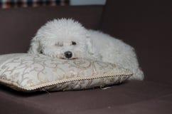 Hund i en soffa 2 Royaltyfri Fotografi