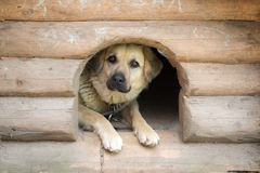Hund i en trähundkoja Royaltyfri Fotografi