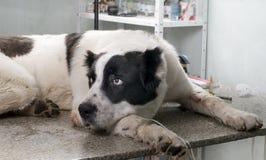 Hund i en veterinär- klinik Arkivfoton