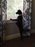 Hund i fönster Royaltyfria Bilder