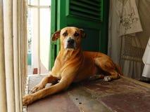 HUND I FÖNSTRET TRINIDAD, KUBA Royaltyfri Foto