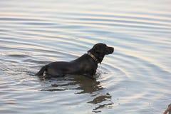 Hund i floden Royaltyfria Foton