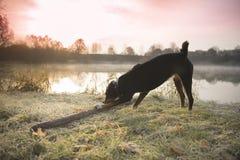 Hund i frostig solnedgång royaltyfria bilder
