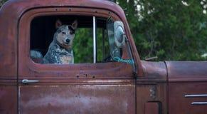 Hund i gammal röd pickup Royaltyfri Foto