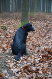 Hund i höstskog Royaltyfri Fotografi