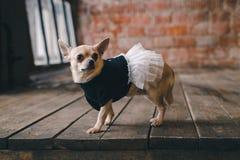 Hund i hemtrevlig klänning arkivbilder