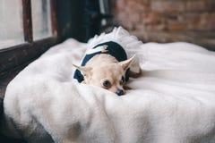 Hund i hemtrevlig klänning royaltyfri bild