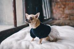 Hund i hemtrevlig klänning royaltyfria foton