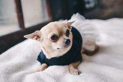 Hund i hemtrevlig klänning fotografering för bildbyråer