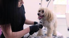 Hund i husdjuret som ansar salongen som får hårsnittet med beskäraren stock video