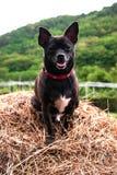 Hund i krubban i byn Royaltyfri Bild
