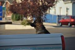 Hund i lastbil Arkivfoton