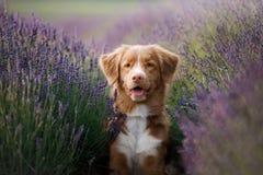 Hund i lavendel Tolling apportör för Nova Scotia and i blommor arkivbilder