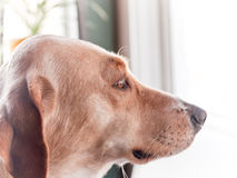 Hund i profil Royaltyfria Foton