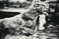 Hund i rörelse Royaltyfri Bild