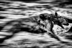 Hund i rörelse Royaltyfria Bilder