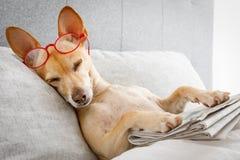 Hund i säng med tidningen arkivfoto