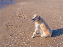 Hund i sanden Royaltyfria Foton