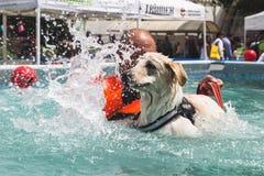 Hund i simbassängen på Quattrozampeinfiera i Milan, Italien Arkivfoton