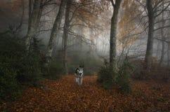Hund i skogen Arkivfoton