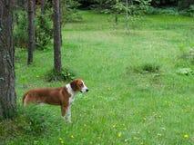 Hund i skogen Fotografering för Bildbyråer