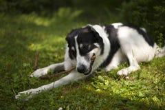 Hund i skogen som tuggar på en pinne Arkivfoton