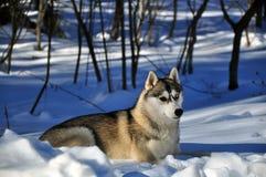Hund i snön Royaltyfri Foto