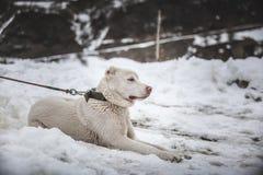 Hund i snow royaltyfria foton