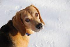 Hund i snow Arkivbild