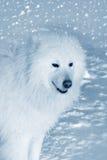 Hund i snow Arkivfoton