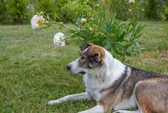 Hund i sommarträdgård Fotografering för Bildbyråer