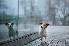 Hund i stad i regnet Jack Russell Terrier i Europa arkivbild