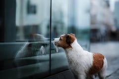 Hund i stad i regnet Jack Russell Terrier i Europa arkivfoton