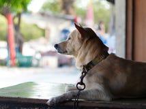 Hund i Thailand Fotografering för Bildbyråer