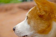 Hund i Thailand Royaltyfri Foto