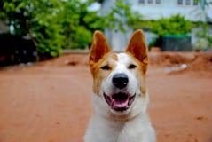 Hund i Thailand Royaltyfri Fotografi