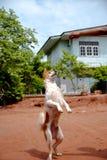 Hund i Thailand Arkivfoto