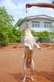 Hund i Thailand Arkivbild